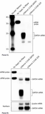 Analysis of GAPDH siRNA Expression and mRNA Knockdown