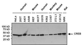 CREB Antibody (MA1-083)