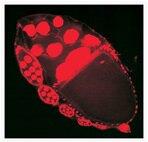 Drosophila ovarian egg chamber.