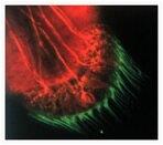 Vestibular labyrinth from turtle.  Lysine-fixable 3000 MW tetramethylrhodamine dextran and BODIPY® FL phallacidin.