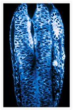 Dorsal view of a zebrafish embryo. BODIPY® 505/515.