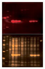 Staining hexahistidine fusion proteins with Pro-Q® Oligohistidine Blot Stain Kit #1.