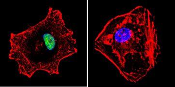 p23 Antibody (MA3-414)