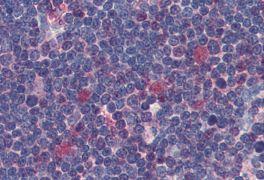 CDK1 Antibody (MA1-19057)
