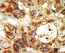 p38 MAPK gamma Antibody (PA5-14051)