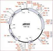 pBR322 DNA map